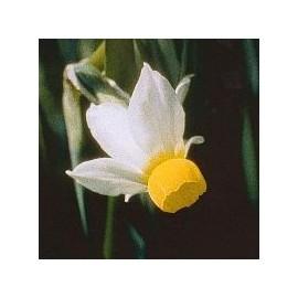Narcisse Bulbocodium*