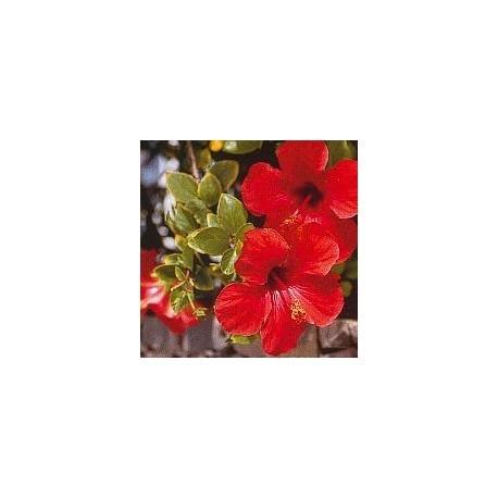 Hibiscus*