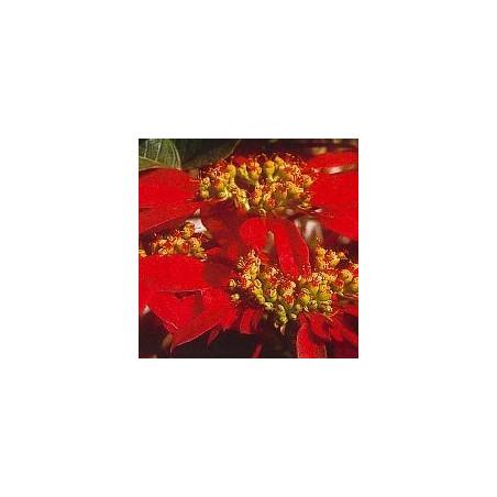Poinsettia*