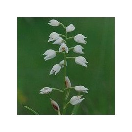 Plalanthère à fleurs verdatres*