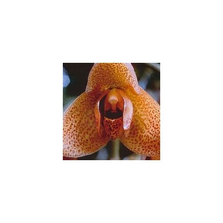 Agression Orchid*