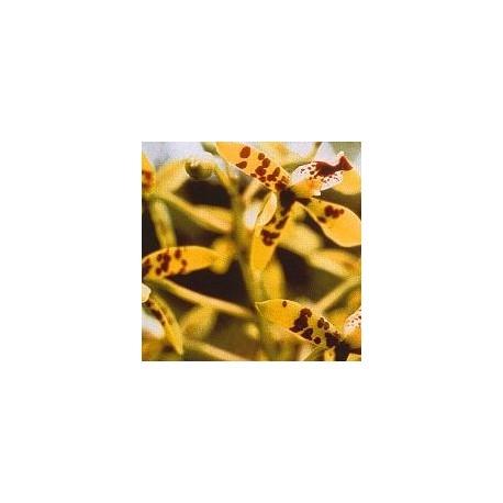Deva Orchid*