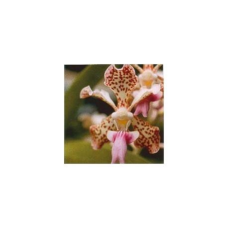 Fun Orchid*