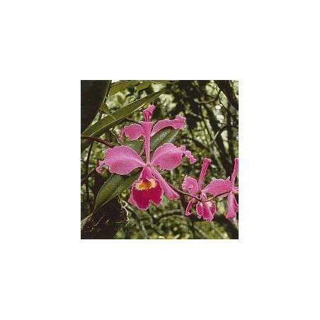 Füllhorn Cattleya*