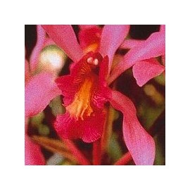 Higher Self Orchid*