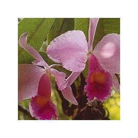 Inspiration Orchid*