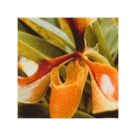 Psyché Orchid*