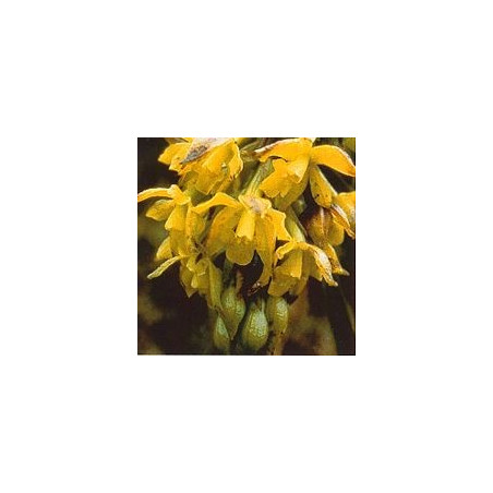Sun Orchid*