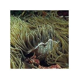 Anémone de mer*