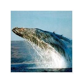 Baleine*
