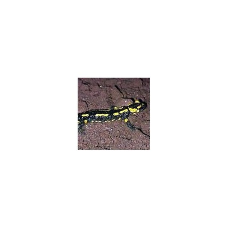 Salamandre*