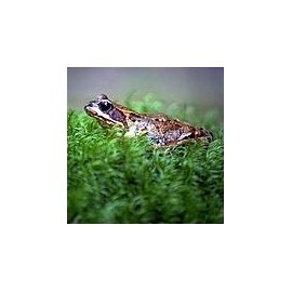 Grenouille*