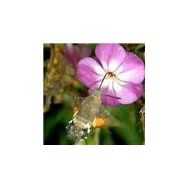 Papillon de nuit*