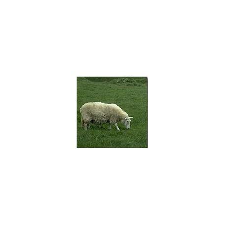 Mouton*