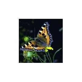 Papillon*