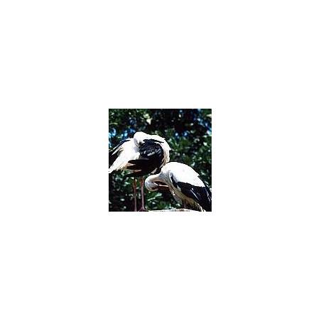 Cigogne*
