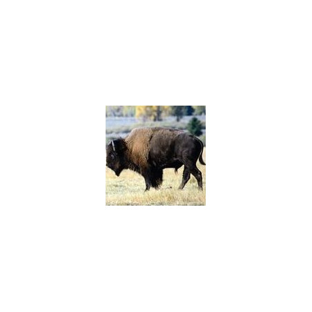 Bison*