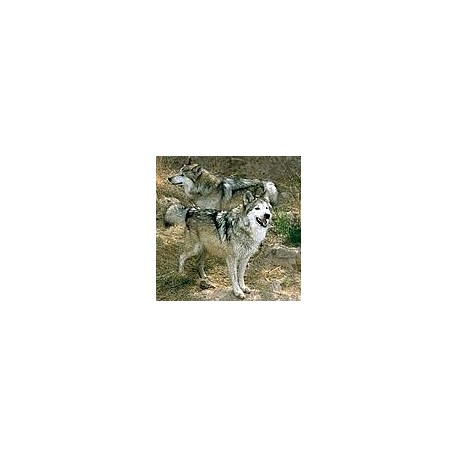 Loup*
