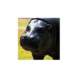 Hippopotame*
