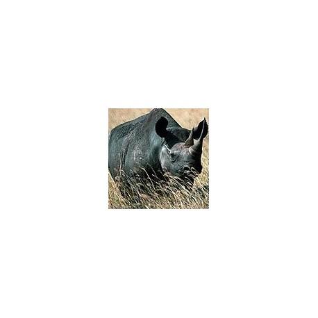 Rhinocéros*
