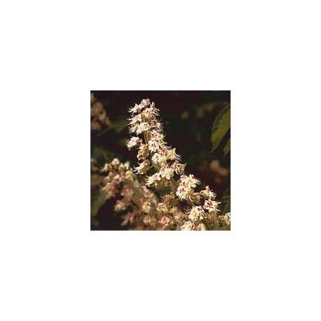 Marronnier Blanc/White Chestnut*