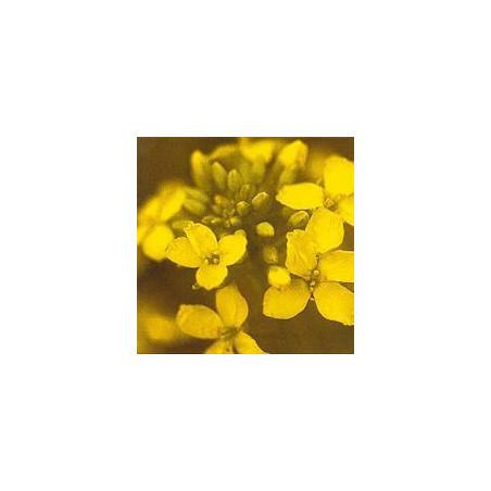 Moutarde/Mustard*