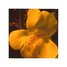 Muscade/Mimulus*