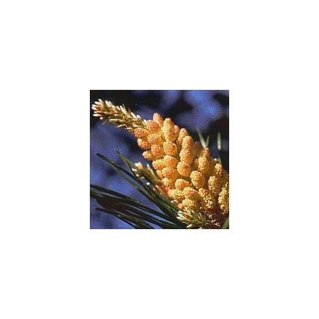 Pin sylvestre/Pine*